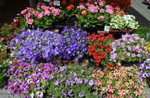 Mixed Coloured Garden Flowers On Display At A Market Stand, Including Yellow, Purple, Blue, Red Petunia, White Begonia, Red And Pink Pelargonium Flowers
