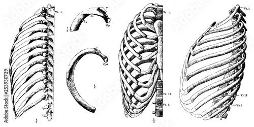 Carta da parati Vector vintage human chest and ribs anatomy