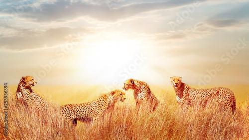 Group of cheetahs in the African savannah. against beautiful sky. Tanzania, Serengeti National Park. Wild life of Africa.