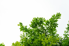 Tree Leaves And Branch Foreground On White Background