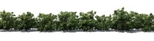American Boxwood Hedge With Sh...