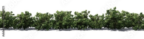 Fotografiet American Boxwood hedge with shadow on the floor - isolated on white background