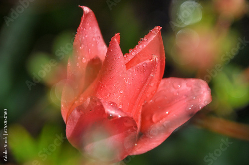 Closeup on pink Tulipa, called tulip covered by the water drops in early spring Canvas Print