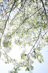 Fototapetaspring tree