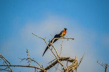 Long Tailed Widow Bird Perched On A Tree In A Game Reserve In South Africa