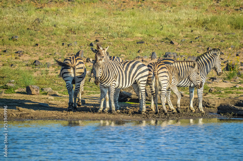 Group of thirsty Zebra drinking from a dam during safari in African bushveld