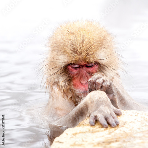 Fotografie, Obraz  Funny japanese snow monkey looking on its paw in a hot spring