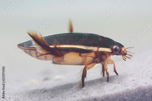 Diving beetle in pond Canvas Print