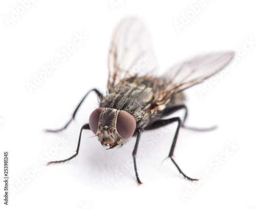 fly isolated on a white Tapéta, Fotótapéta