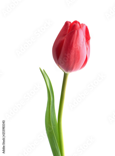 Red tulip flower isolated on white background #253983343