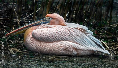 Fotografie, Obraz  White pelican. Latin name - Pelicanus onocrotalus