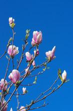 Blooming Magnolia Tree In Spring