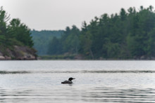 Common Loon (gavia Immer) Swim...