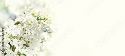 Papiers peints Lilac Blossoming common Syringa vulgaris lilacs bush white cultivar. Springtime landscape with bunch of tender flowers. lily-white blooming plants, copy space.