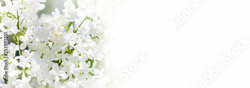 Spring nature background. Blossoming common Syringa vulgaris lilacs bush white cultivar. Springtime landscape with bunch of tender flowers. lily-white blooming plants, copy space.