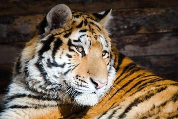 Młody tygrys siedzi na porannym słońcu.