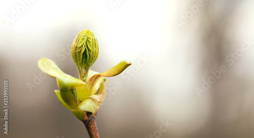 Photo Horse chestnut bud bursting into leaves