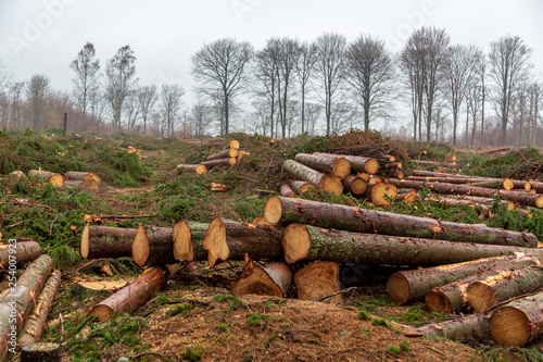Photographie  Clear cutting of fir forest