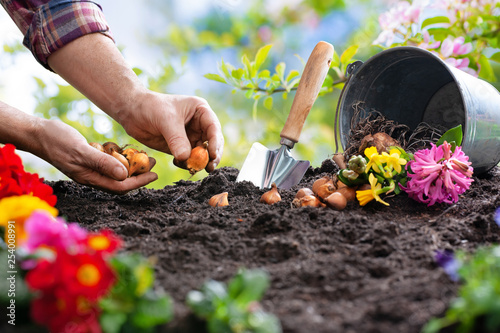 Planting spring flowers in the garden - 254008991
