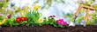 Leinwandbild Motiv Planting spring flowers in sunny garden