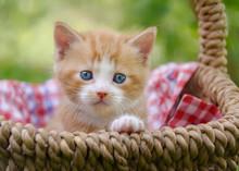 Cute Baby Kitten With Beautiful Blue Eyes In A Wicker Basket