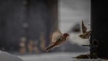 House Finch And Pine Siskin Fighting Over The Bird Feeder