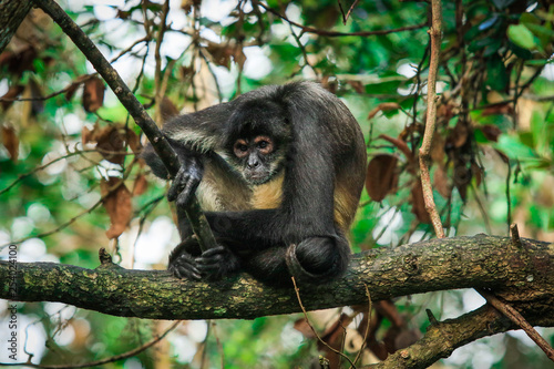 Foto op Aluminium Aap Endemic Spider Monkey in the Rain Forest, Belize