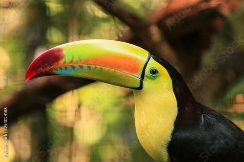 Jasny tukan z żółtym dziobem w lesie tropikalnym, Belize