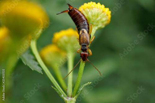 Fotografie, Obraz  Insekt - Ohrwurm
