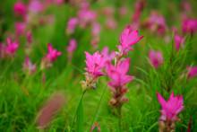 Curcuma Sessili Pink Is Blooming Beautifully In The Rainy Season