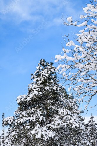 Fotografija  Beautiful snowy day, snow covered deciduous and evergreen tree tops against a bl