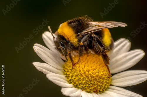 Photo sur Toile Bee POLEN Image of bee or honeybee on yellow flower collects nectar. Golden honeybee on flower pollen with space blur background for text. Insect. Animal
