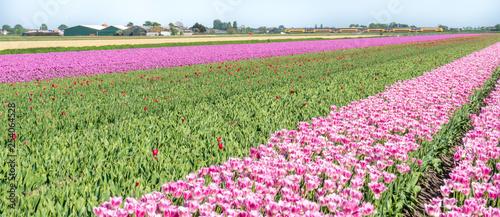 Wall Murals Magenta Netherlands,Lisse, a pink flower is standing on a lush green field