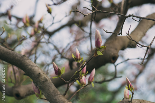 Poster Roe pink magnolia flower buds on a branch in the spring