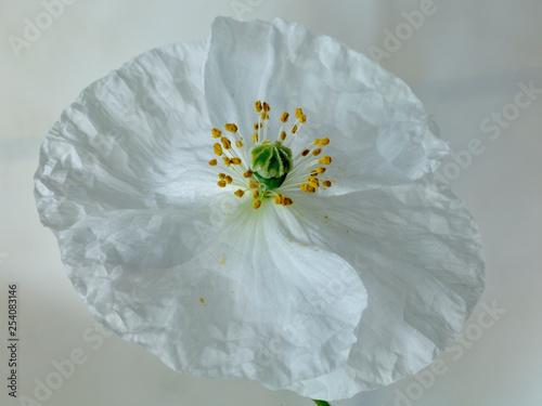 White Poppy - 254083146