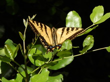 Giant Tiger Swallowtail Butterfly On Green Leaves With Dark Background