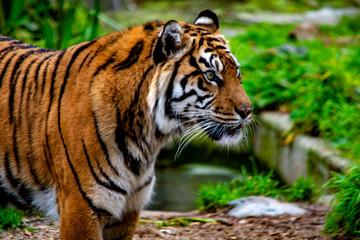 tygrys bengalski w zoo