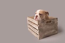 Bulldog Puppy On Isolated Background