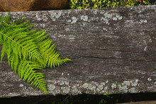 Old Wood Timber Surface With Fern Leaves Background. Closeup Of Small Log Footbridge Through Pond In Forest.
