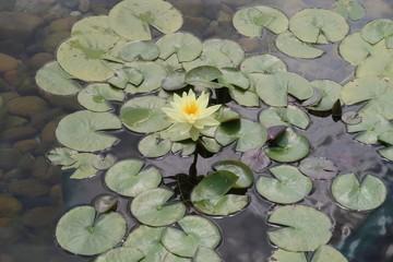 Hong Kong Lotus Flowers