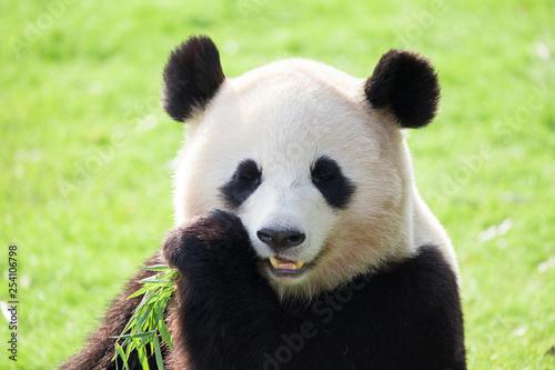 Poster Panda パンダ ジャイアントパンダ
