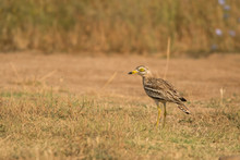 Eurasian Stone-curlew / Burhin...
