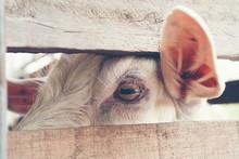 Goat's Eyes, Eyes That The Ani...