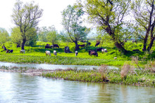 Cows Graze Grass Beside The River. It's Spring. Fresh Grass And Clear And Lush Water.