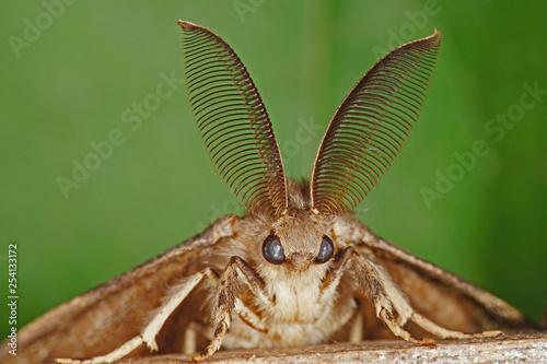 Lymantria dispar (LINNAEUS, 1758) Schwammspinner , Männchen , Fühler 23 Fototapet