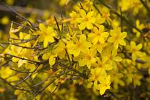 Yellow Bloom Of A Winter Jasmine Bush