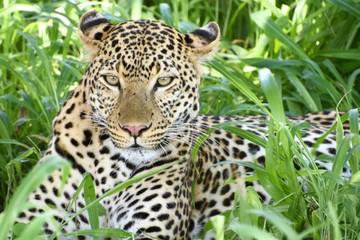Fototapeta Las Leopardo, Panthera pardus sentado entre las hierbas verdes mirando firmemente hacia el frente en el Parque Nacional de Ruaha en Tanzania, Africa del Este.