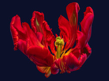 Bright Colorful Macro Portrait Photography Of The Inner Of A Single Isolated Wide Open Parrot Tulip Blossom In Pop-art Colors On Blue Background