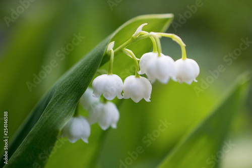 Wall Murals Lily of the valley A beautiful white Lily of the valley flower blooms in a wild field. Horizontal macro photography