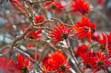 Brilliant Red Spectacular Flowers Of Erythrina A Genus Of Flowering Plants In The Pea Family, Fabaceae In Early Spring Attract Honey Eater Birds And Honey Bees In Australian Parks And Gardens.